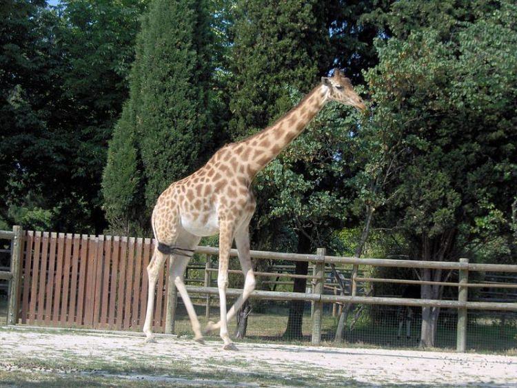 Żyrafa Kordofan
