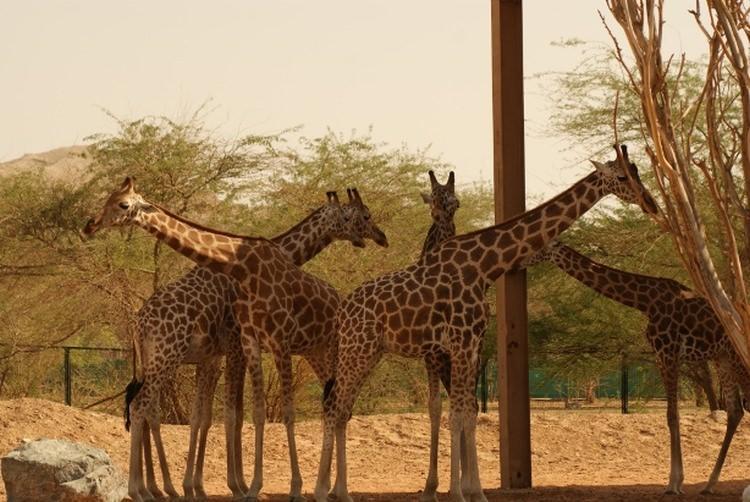 żyrafa nubijska