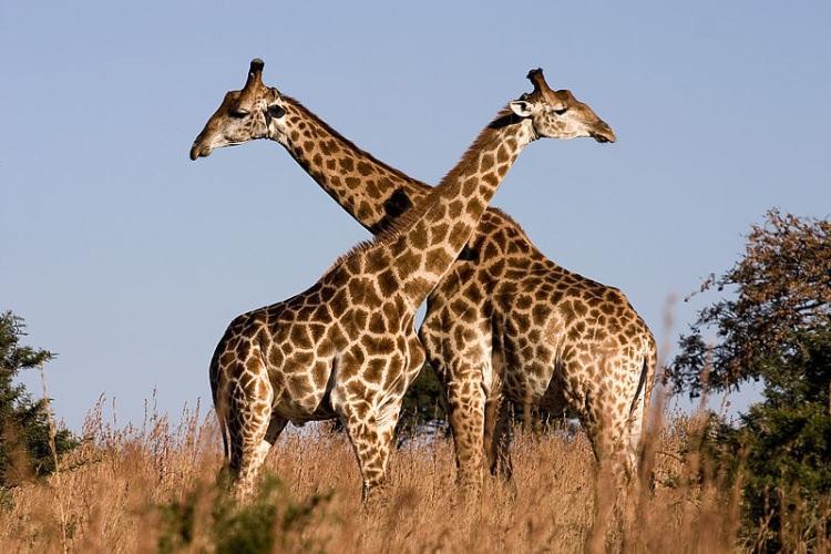 Żyrafy uprawiające necking