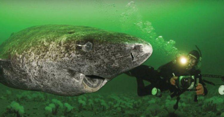 rekin polarny - najdłużej żyjący przedstawiciel kręgowców