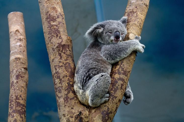 koale przytulają się do drzew