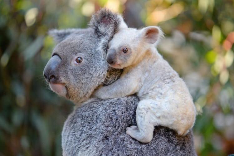 koala z białym futrem