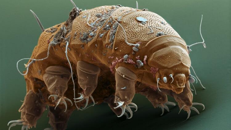 niesporczak pod mikroskopem