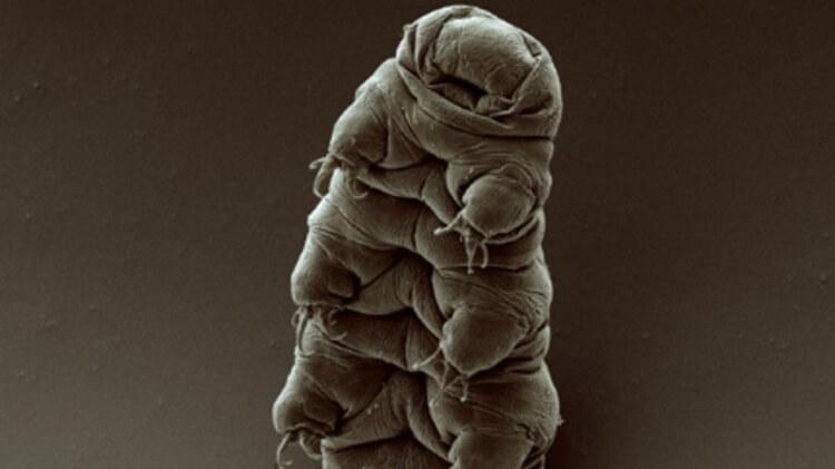 Hypsibius exemplaris