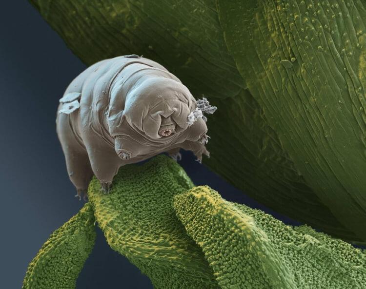 wodny niedźwiedź pod mikroskopem