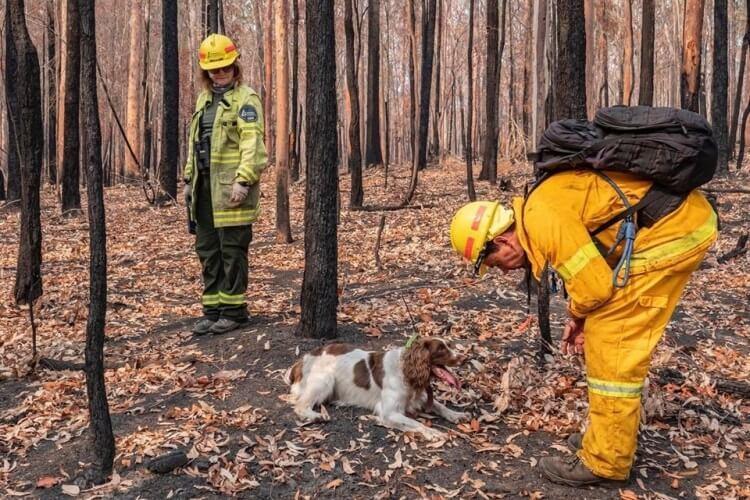 specjalnie wyszkolone psy ratują koale w czasie pożarów w Australii