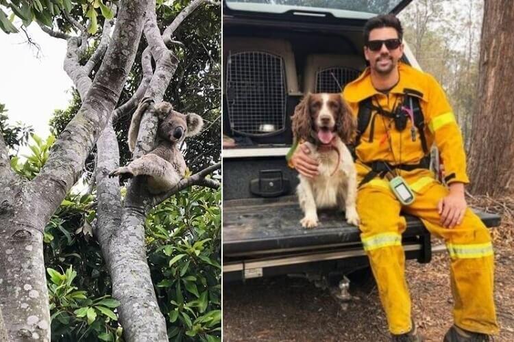 psy ratują koale w czasie pożarów w Australii