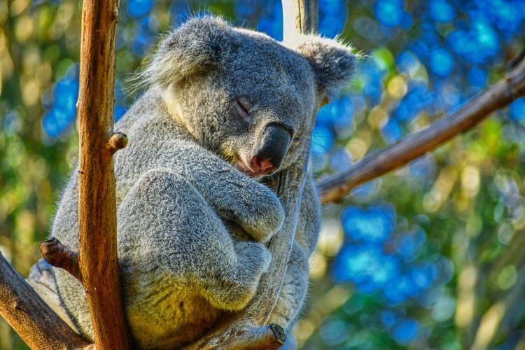 koale spią nawet 20 godzin dziennie