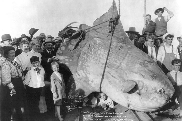 ryba samogłów znana również jako mola