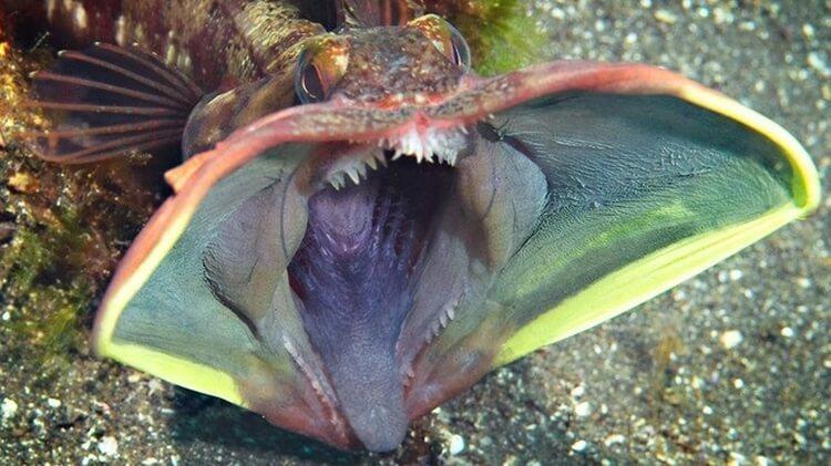 ryba Neoclinus Blanchardi
