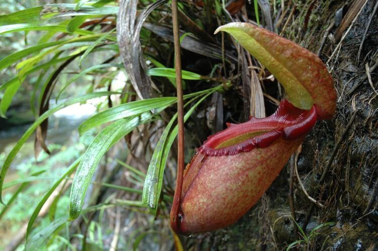 Dzbanecznik radży (Nepenthes rajah) - największa na świecie roślina mięsożerna
