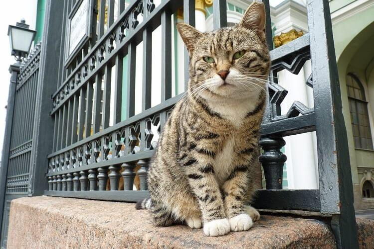 jeden z kotów mieszkających w muzeum Ermitażu