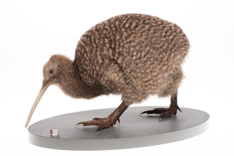 kiwi plamisty
