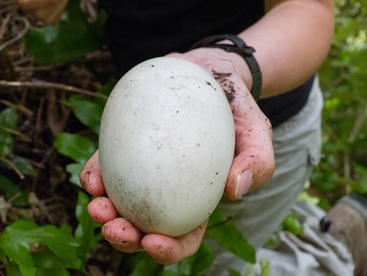 ptak kiwi jajko