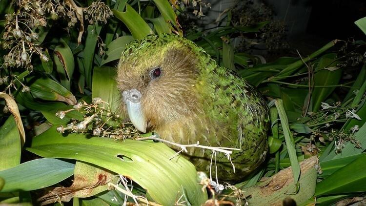 Papuga kakapo