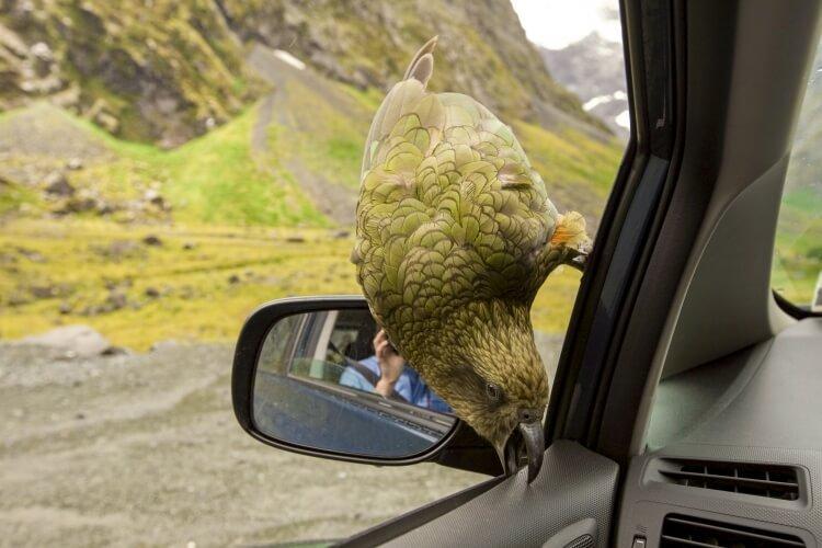 Papuga nestor kea