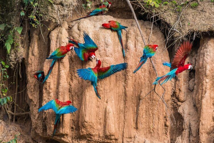 papugi jedzące glinę