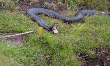 Czarny wąż tygrysi należy do najbardziej jadowitych węży na świecie
