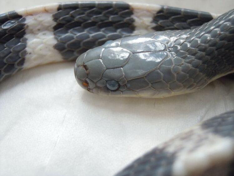najbardziej jadowite węże świata - Niemrawiec prążkowany