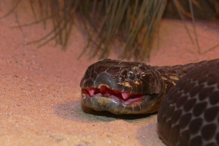 najbardziej jadowite węże świata - Wąż tygrysi