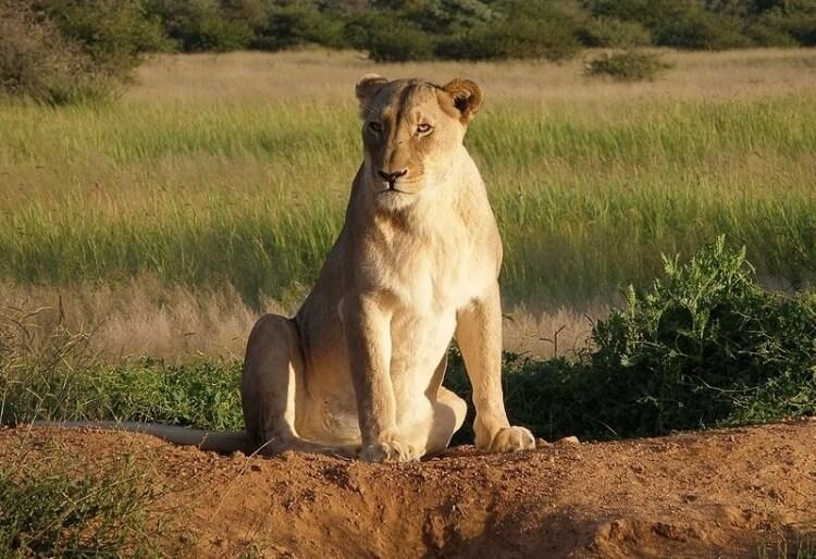 samica lwa