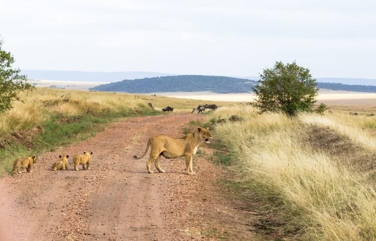 Lwica z młodymi lwami