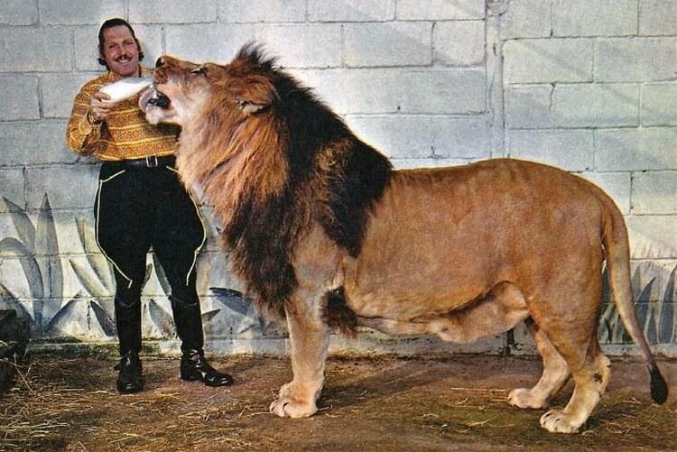 Simba - największy lew w historii