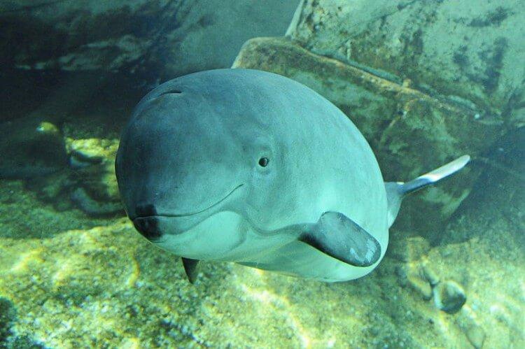 Morświn zwyczajny - gatunek zagrożony wyginięciem