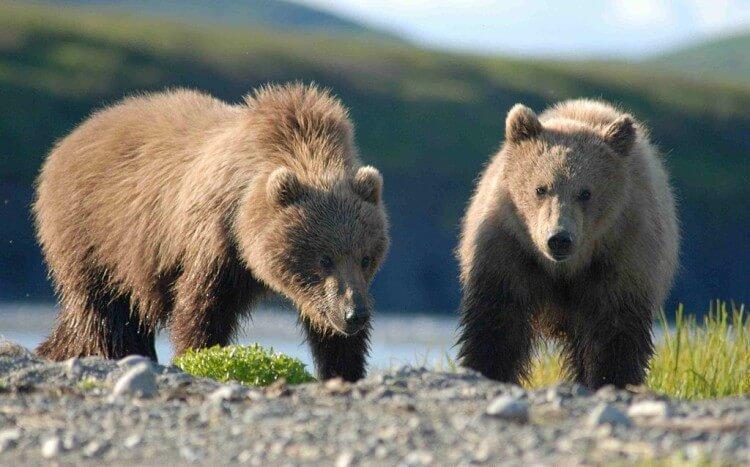 Niedźwiedź brunatny - gatunek zagrożony wyginieciem