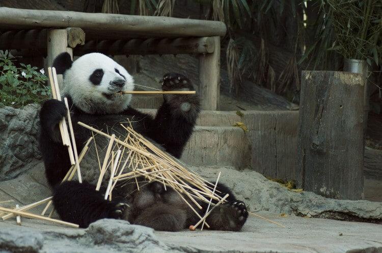 panda - gatunek  zagrożony wyginięciem