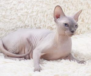 Top 10: najdroższe rasy kotów na świecie