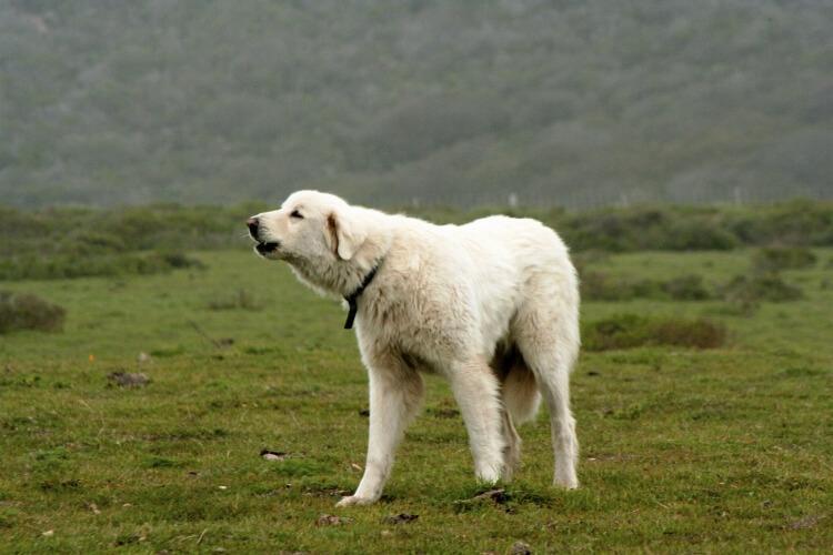 Pies rasy Akbash